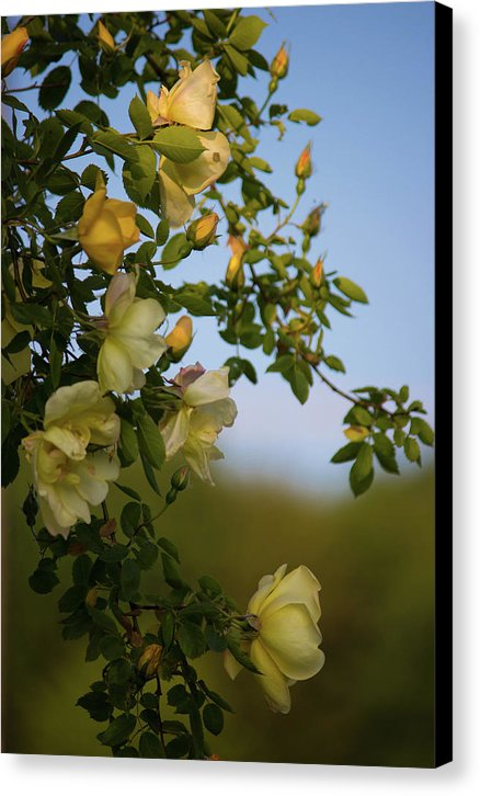 Delicate Roses - Canvas Print