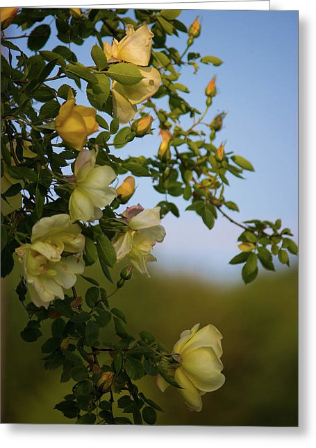 Delicate Roses - Greeting Card