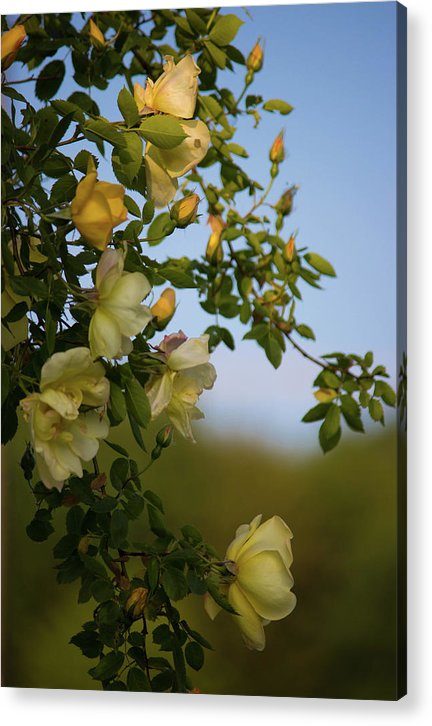 Delicate Roses - Acrylic Print