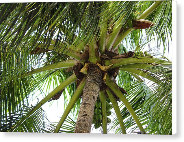 Under The Coconut Tree - Canvas Print