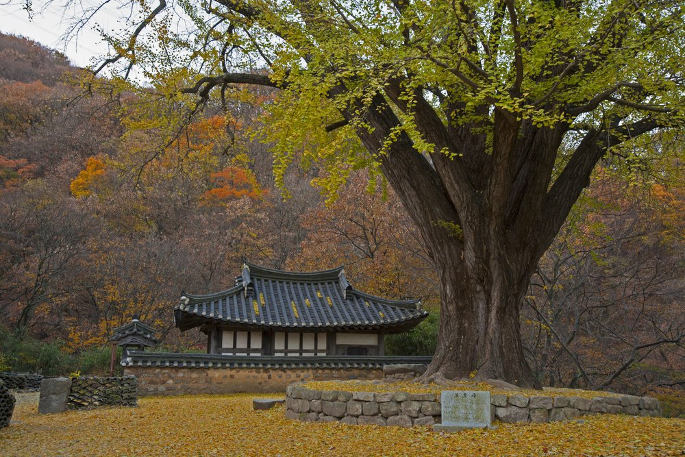 ginkgo biloba is a traditional Chinese herb from tree leaves