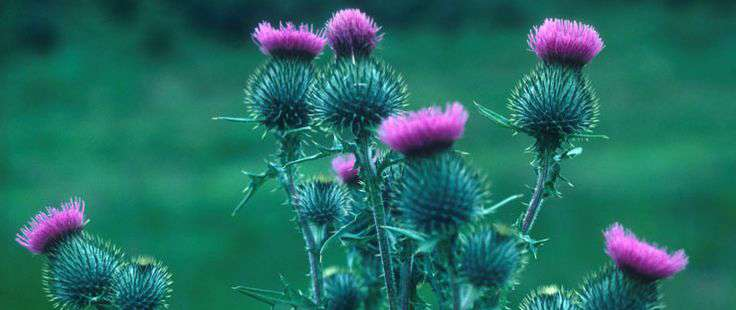A salute to the thistle