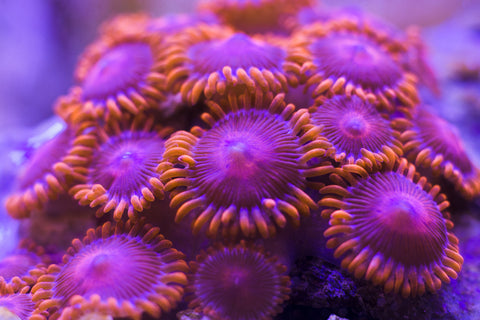 Zoanthid Frags