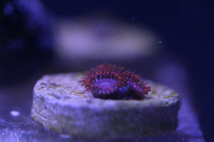 Twizzler Zoanthid Frags Grade A