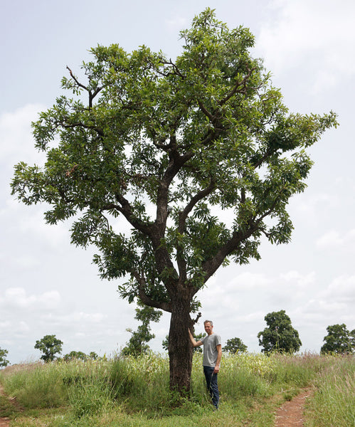 Jeroen with a shea tree