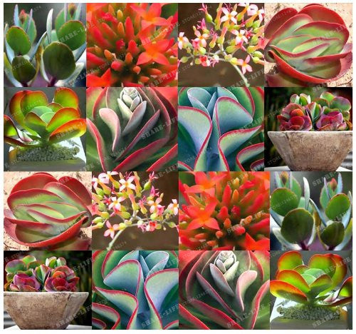 300pcs Succulent Seeds-Plants-Qponer