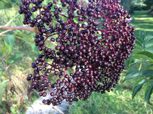 Load image into Gallery viewer, Fresh elderberries on our farm.