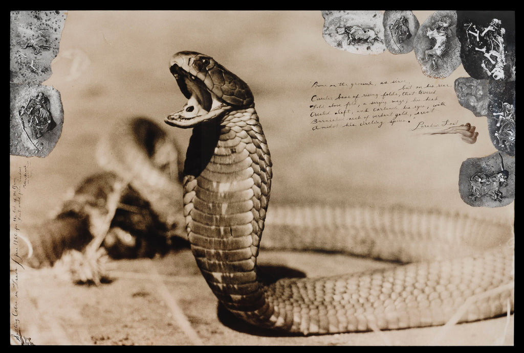 Peter Beard, Spitting Cobra in Tsavo, 1960
