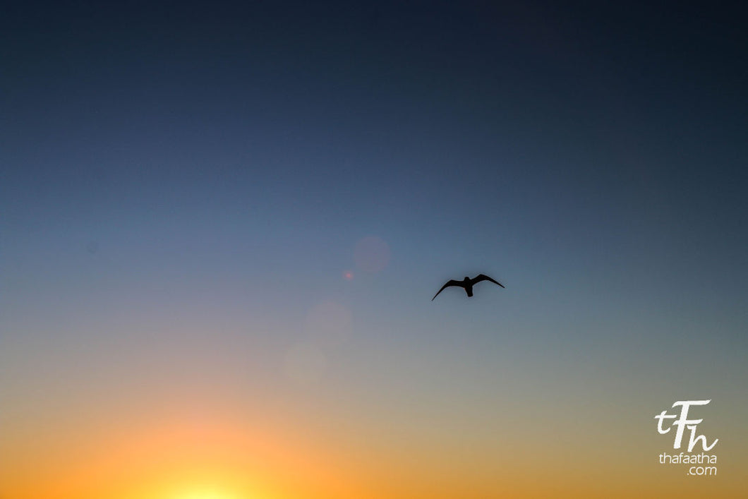 Seagull over Sunset, Destin.