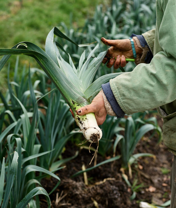 A photo of vegetables being picked from the farm