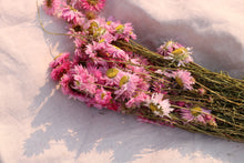 Load image into Gallery viewer, ACROCLINIUM PINK