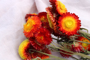 HELICHRYSUM RED