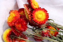 Load image into Gallery viewer, HELICHRYSUM RED