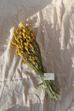 Load image into Gallery viewer, PHALARIS YELLOW