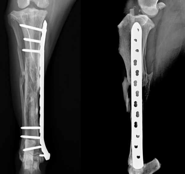 IMPeek plate rod comminuted tibial fracture old dog