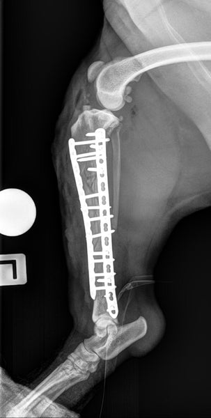 Plate-rod repair for dog with tibial fracture