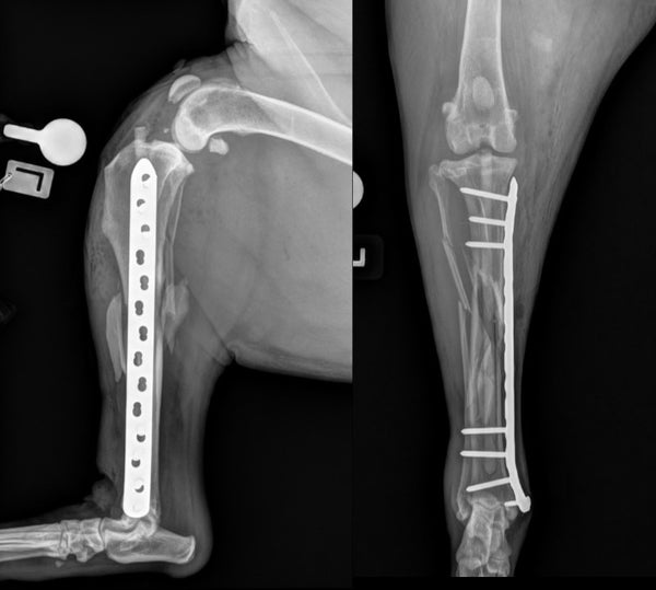 Plate rod repair of tibial fracture in a dog