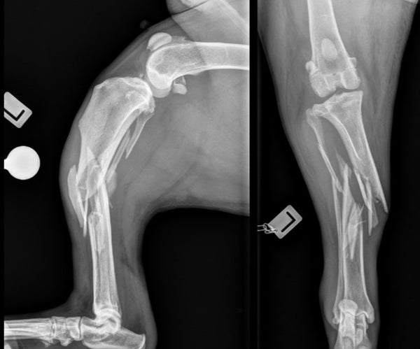Dog with comminuted tibial fracture plate rod repair