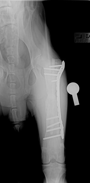 Fractured femur dog healed with plate and peek rod