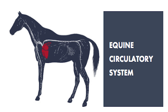 CIRCULATORY SYSTEM OF A HORSE | HYLOFIT