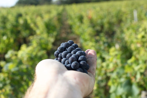 Grape harvest in Burgundy