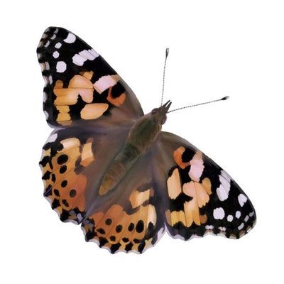 Black, orange, and white Painted Lady butterfly with its wings spread out. Live insects.