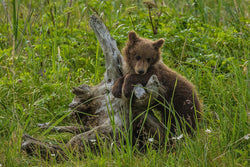 """Innocence"" Alaskan Brown Bear Cub Canvas"
