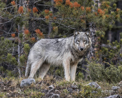 """First Encounter"" Grey Wolf 8 x 10 Print"