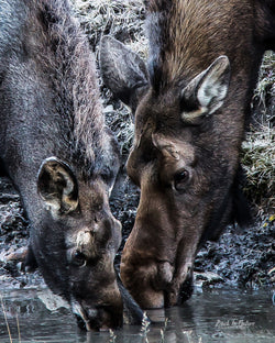 """Mother's Tutelage"" Cow Moose & Calf 8 x 10 Print"