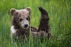 """Baby Yoga Bear"" Alaskan Brown Bear Cub Canvas"
