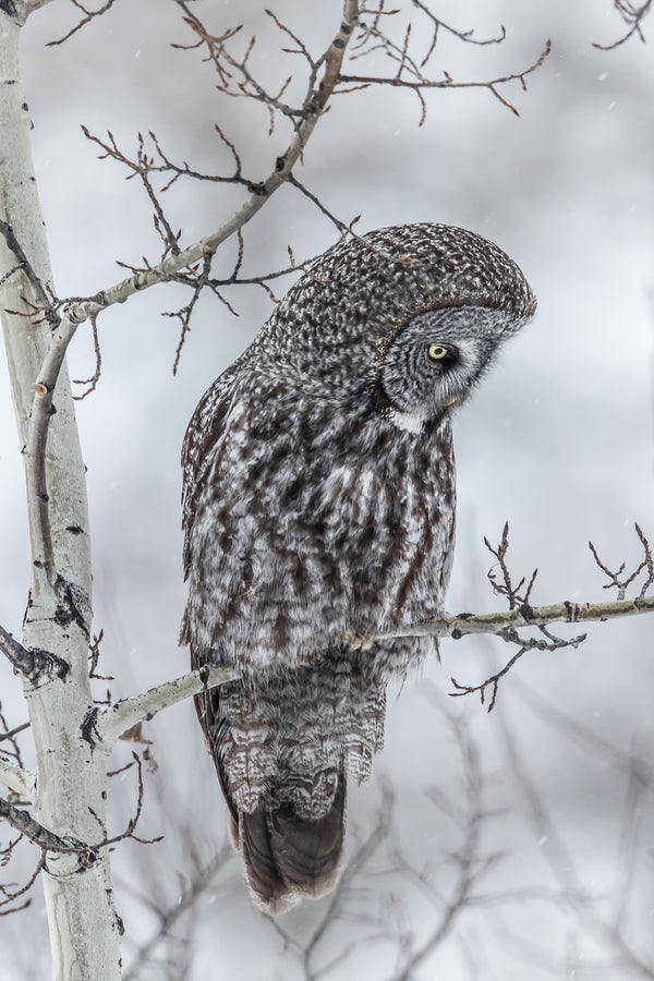 """Anticipation"" Great Gray Owl Canvas"