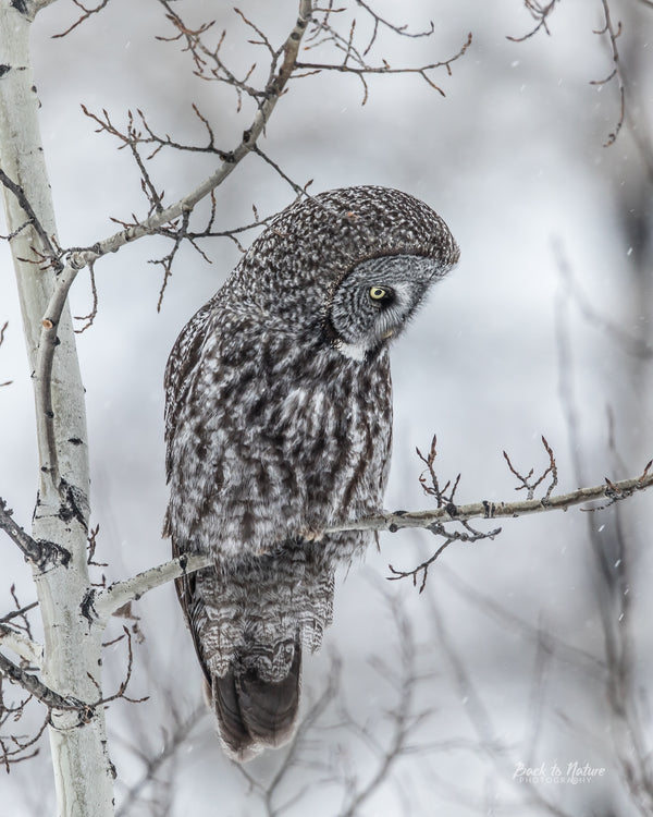 """Anticipation"" Great Gray Owl 8 x 10 Print"
