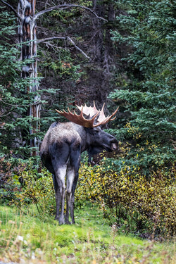 """Back At You"" Bull Moose Canvas"