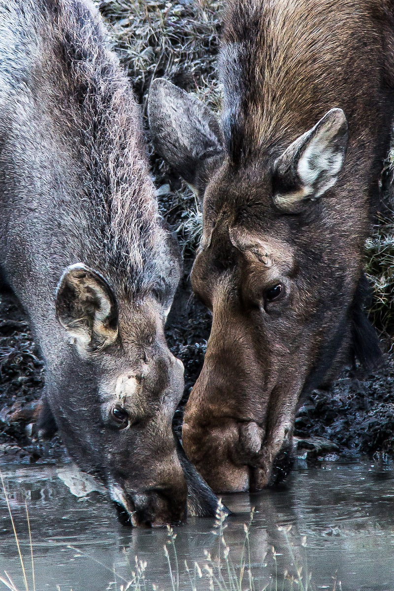 """Mother's Tutelage"" Cow & Calf Moose Canvas"