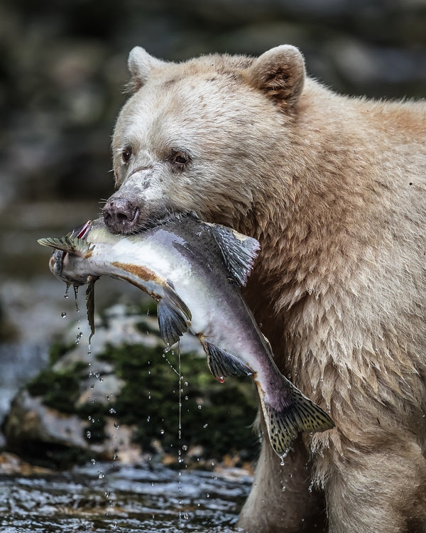 """The Catch"" Spirit Bear Canvas"