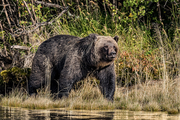 """Cruising the River"" BC Mountain Grizzly Bear Canvas"
