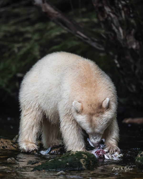 """Bulking Up"" Spirit Bear 8 x 10 Print"