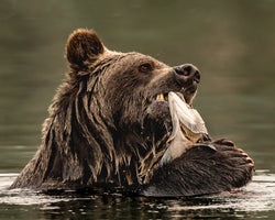 """First Bite"" BC Mountain Grizzly 8 x 10 Print"