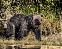 """Cruising the River"" BC Mountain Grizzly Bear  8 x 10 Print"