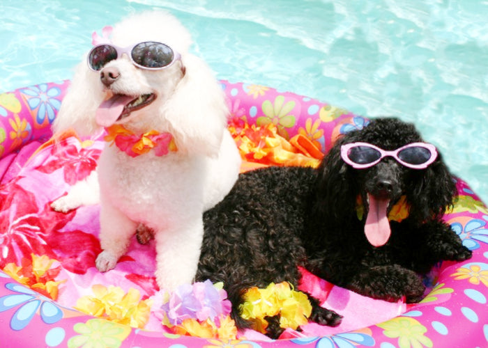 pet party friends sunglasses pool poodles photo op