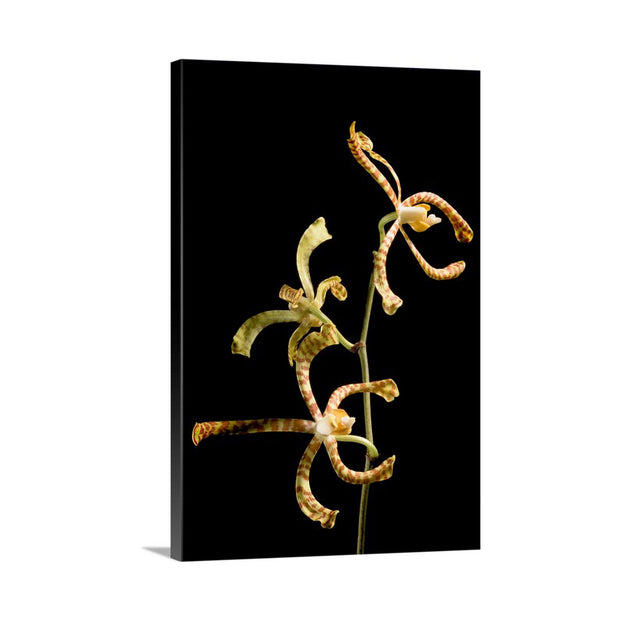 Canvas print of Flower of an Orchid by Yuri A Jones