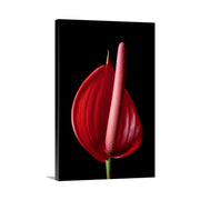 Canvas print of Pink Anthurium II by Yuri A Jones