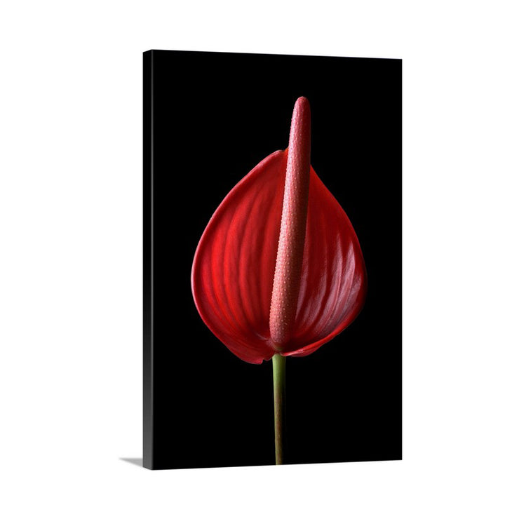 Canvas print of Pink Anthurium I by Yuri A Jones
