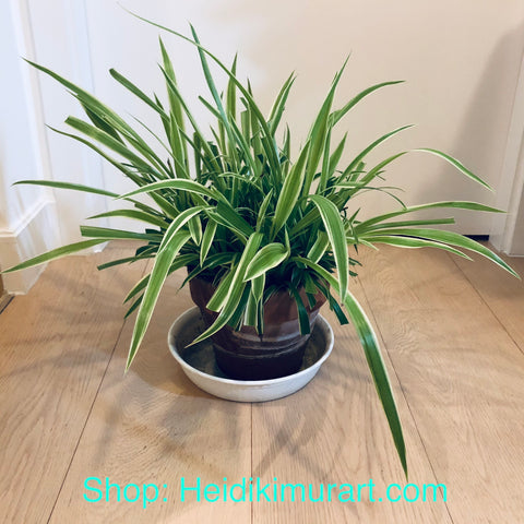 Indoor Spider Plant, Air Purifying Plant For Your Home- Large Size Available (For Hong Kong Customers Only) Best Indoor Plants Online Hong Kong, Best Indoor Plants Hong Kong, Where to Buy Plants in Hong Kong, Best Plants to Grow in Hong Kong