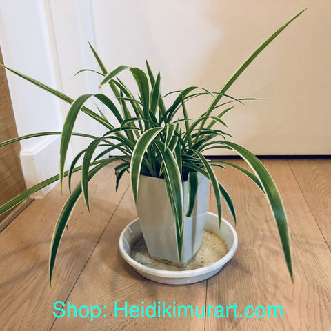Indoor Spider Plant, Air Purifying Plant For Your Home- Small Size Available (For Hong Kong Customers Only) Best Indoor Plants Online Hong Kong, Best Indoor Plants Hong Kong, Where to Buy Plants in Hong Kong, Best Plants to Grow in Hong Kong