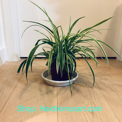 Indoor Spider Plant, Air Purifying Plant For Your Home- Medium Size Available (For Hong Kong Customers Only) Best Indoor Plants Online Hong Kong, Best Indoor Plants Hong Kong, Where to Buy Plants in Hong Kong, Best Plants to Grow in Hong Kong