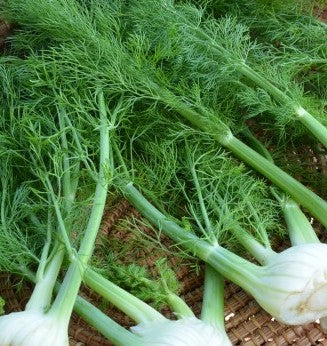 Fennel Baby (Each)