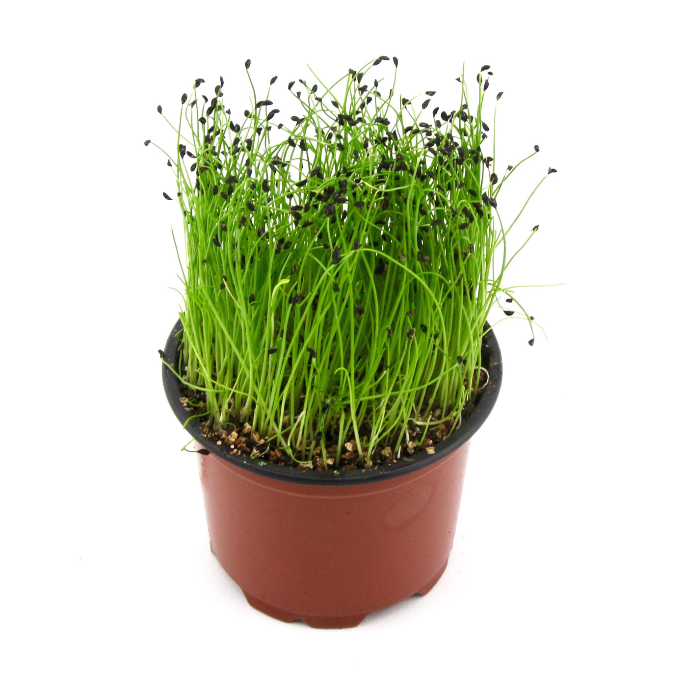 Micro Herbs Chives (Punnet)