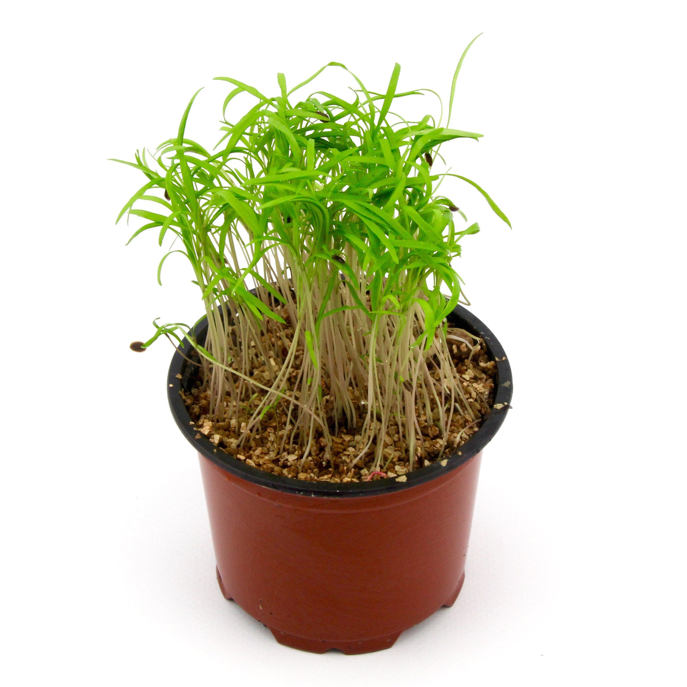 Micro Herbs Dill (Punnet)