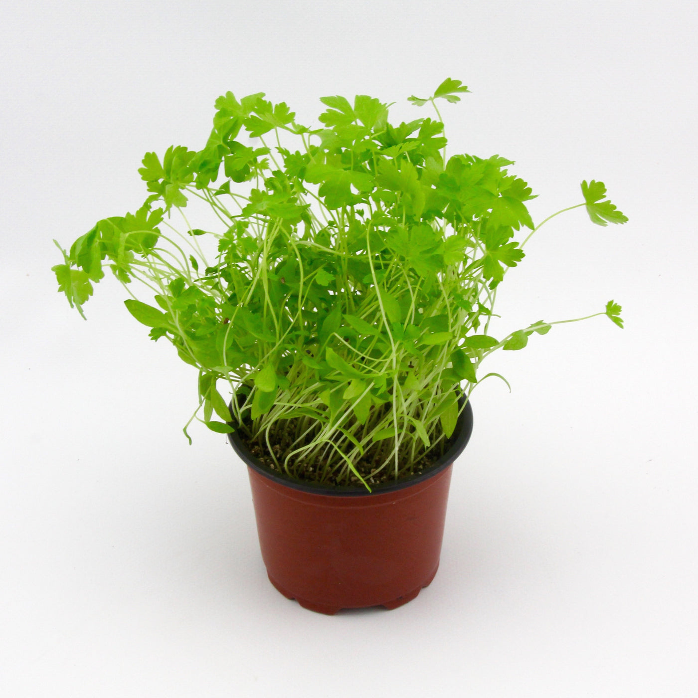 Micro Herbs Cont Parsley (Punnet)